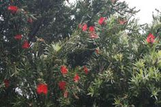 ...favourite coastal plants...callistemon 'Kings Park Special'