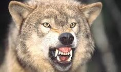 Carnivores are predators. They hunt and eat other animals to survive. Mammals that are carnivores have sharp teeth adapted for ripping meat from a carcass. Wolf Growling, Wolf Range, Beautiful Wolves, Dog Wallpaper, Free Dogs, Hyena, Mundo Animal, Spirit Animal, Wolf Spirit
