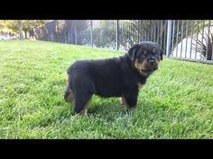This German Rottweiler Puppy is a Little Tank - http://www.ruffingtonpost.com/german-rottweiler-puppy-little-tank/