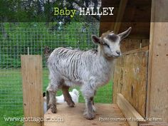 Information about our Miniature Silky Fainting Goat doe, San Sujo Halleys Comet, at GottaGoat Farm. Fainting Goat, Halley's Comet, Happy Dogs, Goats, Miniatures, Baby, Animals, Animales, Animaux