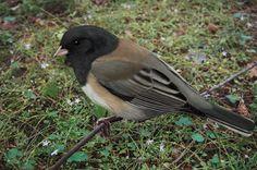 birds from oregon   Oregon Junco by Gary Romig