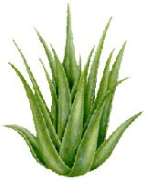 drinking Aloe Vera Juice - The three main categories of benefits include anti-inflammatory, anti- bacterial, and anti-viral actions. The juice is said to be one of the finest body cleansers, cleaning morbid matter from the stomach, liver, kidneys, spleen, bladder, and is considered the finest known colon cleanser.