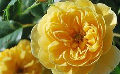 Sunrosa Roses are an exciting series from the Suntory Collection. Sunrosa Roses are beautiful, compact, bushy and highly disease resistant - even in the heat and humidity of the Deep South. Flowering Shrubs, Trees And Shrubs, Yellow Shrubs, Fast Growing Shrubs, Low Maintenance Shrubs, Dwarf Shrubs, Garden Online, Shrub Roses, Ground Cover Plants