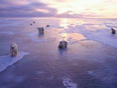Le conseguenze dell'acidificazione del Mar Glaciale Artico sulla fauna