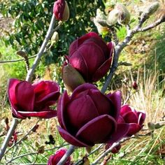 "Magnolia ""Genie"""