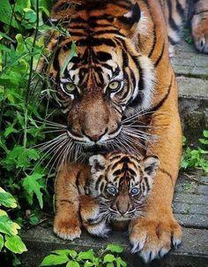 Amazing wildlife. Tiger ama and baby