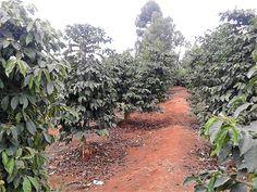 Kenyan Coffee, Plants, Plant, Planets