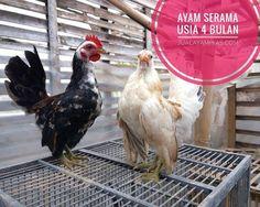 Ayam Serama Itali Usia 4 Bulan dalam perjalanan Pesanan Bapak Asun di Jakarta . . . . . Ayo pesan sekarang kami bisa mengirimkan ke seluruh Indonesia via Kargo hewan terpercaya. jualayamhias.com Kantor: Donoharjo Ngaglik Sleman Yogyakarta Kandang utama: Muntilan Magelang TELKOMSEL : 0812 2028 8686 IM3 : 08564-772-3888 (Whatsapp) AXIS : 0838-6918-5523 LINE : 08564-772-3888 LINE ID : jualayamhias.com #ayamhias #ternakunggas #ternakayam #ternakayamhias #ayam #backyardchicken #chicken #egg…