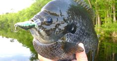 Bluegill: When Artifical Lures Outfish Live Bait