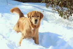 Golden retriever Clyde loves the snow!