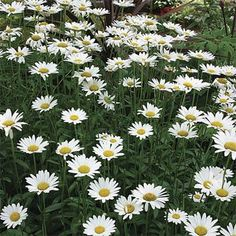 Start Chrysanthemum seeds to grow this old-fashioned favorite! Chrysanthemum Maximum Shasta Daisy is a mainstay in the perennial flower garden with its large white blooms and yellow centers. Hardy Perennials, Flowers Perennials, Planting Flowers, Flowering Plants, Butterfly Garden Plants, Plants That Attract Butterflies, Flowers Garden, Shaded Garden, Fine Gardening