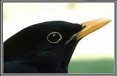 blackbird graphics - - Yahoo Image Search Results