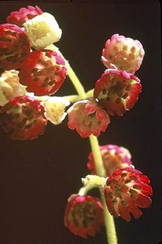 Makomako - Wineberry in flower(Shrub) /ATTRACTS: Red Headed Woodpeckers.