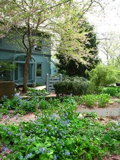 In spring the semicircular grass berm behind Silas Mountsier's house in Nutley, New Jersey, is littered with daffodils blooming beneath slender redbud tree Short Plants, Front Entrances, Back Gardens, Large Windows, Daffodils, Botany, New Jersey, House Colors, Places To Visit