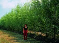Stark® Hybrid Willow  Fast and functional windbreak! This upright willow grows up to 12 feet a year until it reaches its mature height of 30-40 feet. Low maintenance tree, with dense foliage for quick summer shade and a winter windbreak. Also helps prevent soil erosion. Shipped 3 feet and up.