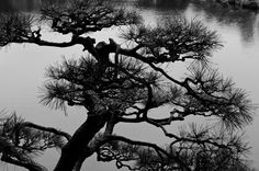 Pine tree overlooking a lake. Japan. Photographer david3br of Flickr