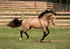 Photos of DEM Conquistador, Bucksin Lusitano Stallion for Sale All The Pretty Horses, Beautiful Horses, Most Beautiful Animals, Cute Horses, Horse Love, Horse Photos, Horse Pictures, Dun Horse, Buckskin Horses