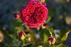 Englische Rose: Falstaff