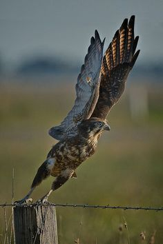 Brown Falcon - One exceptional shot!