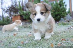 Image from http://hdwallpapersfit.com/wp-content/uploads/2015/03/cute-corgi-puppy-wallpaper.jpg.
