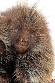 Porcupine at Antelope Island