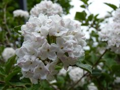 Korean Spice Viburnum is one of the most gloriously fragrant shrubs known to man. The dense flower heads, which measure up to 3in across, produce white flowers from blush pink buds, and the perfume, which is a sweet, rich, spicy vanilla, carries a considerable distance across a lawn or garden.