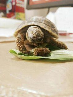 #eating #tortoise