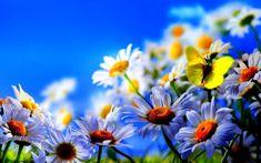 ромашки, метелик, квіти, весна
