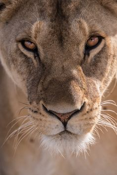 Close up photo of female lion face Lioness Images, Lion Photography, Lioness Tattoo, Lions Photos, Female Lion, National Cat Day, Lion And Lioness, Fierce Lion, Lion Love