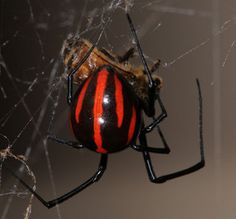 Black widow spider Photographed in Mexico