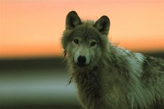 An Arctic wolf with the glowing sun on the horizon. ©Chadden Hunter  'FrozenPlanet' #FrozenPlanet #Animal #Wolf