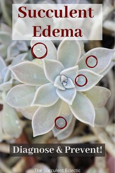 Whether you are trying to diagnose brown spots on succulents or you want to prevent Succulent Edema in the first place - this is the post for you! Learn the conditions that lead to edema, those rough, brown spots or blisters that occur on succulents. And learn how to fix it! #Succulentcare #succulentedema #plantedema #brownspotsonsucculents How To Water Succulents, Succulent Soil, Planting Succulents, Facing The Sun, Water Movement, Crassula Ovata, Cell Wall, Brown Spots