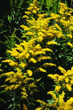 "Goldenrod 'Solar Cascade' Solidago - Very easy to grow with few requirements other than sun and a little water. The bright yellow looks very nice planted with blue speedwell. Height 24-30""  Zones 3-8"