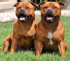 Staffy Bull Terrier, Staffy Dog, Terrier Dog Breeds, Staffordshire Bull Terrier Puppies, Bully Dog, Beautiful Dogs, Dog Pictures, Hulk, Pitt Bulls