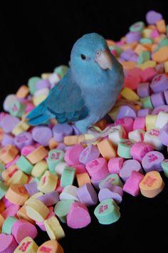 Parrotlet Valentine <3 http://www.busybird.com/parrotletinfo1.html