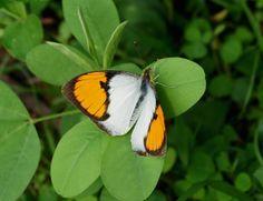 Butterflies of India - Ixias marianne
