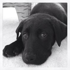 Love the black dogs!!! Looks like our baby Jordan!