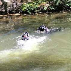 Splosh splosh  @jigglyjakethedog enjoying a swim with the old man  #dogs #labrador #blacklab #swimmingdog #keepingcool