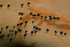 The photo is taken from above, likely early or late in the day. Look carefully, the real camels are white in the photo, the black camel shaped objects are their shadows. Indeed a beautiful picture.