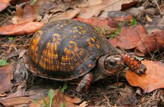 I found this Eastern Box Turtle wandering on the same road I was on, so I asked him to pose for a moment. Turtle Care, Pet Turtle, Different Types Of Turtles, Sea Turtle Wallpaper, Eastern Box Turtle, Kawaii Turtle, Tortoise Table, Water For Elephants, Animal Symbolism