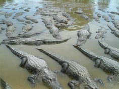 A Congregation of Alligators. Taken in the Everglades by Marcus Richardson. This is my nightmare....