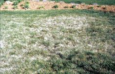Cutworm lawn insect damage #cutworm #lawninsects