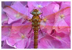 A fine visitor in the Hortensia (aka Hydrangea) by oleskipper55