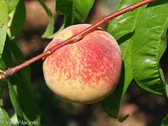 Pêssego // Peach (Prunus persica)