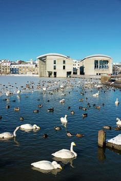 Swans in Reykjavik Art Print for sale. Lots of birds on the lake in front of the town hall in Reykjavik, Iceland. Available as poster, framed print, metal, acrylic, wood or canvas print. Click through and get inspired! Art for your Home Decor and Interior Design by Matthias Hauser.