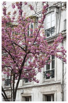 Cherry Blossoms, Montmartre - April in Paris