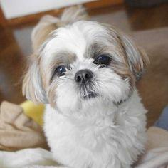 Shih tzu!! Makes me miss my puppy :(