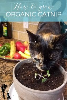 For a fun little treat for your cat and an air-cleaning, cute-looking treat for your home, you can't beat catnip! It's also hardy and super tough to kill! Here's how to grow your own catnip. Growing Catnip, Love Your Pet, Gifts For Dog Owners, Grow Organic, Pet Care Tips, Grow Your Own, Exotic Pets, Pit Bull, Animals And Pets