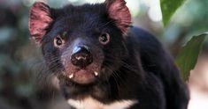 After 3,000 Years, Tasmanian Devils Make a Comeback on Mainland Australia Chris Hemsworth, Australia Pictures, World Of Wanderlust, Tasmanian Devil, Mountain Bike Trails, Tier Fotos, Black Bear, Mammals, Cute Animals