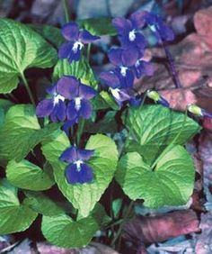 State Flowers Photo Gallery: New Jersey State Flower - Blue Violet